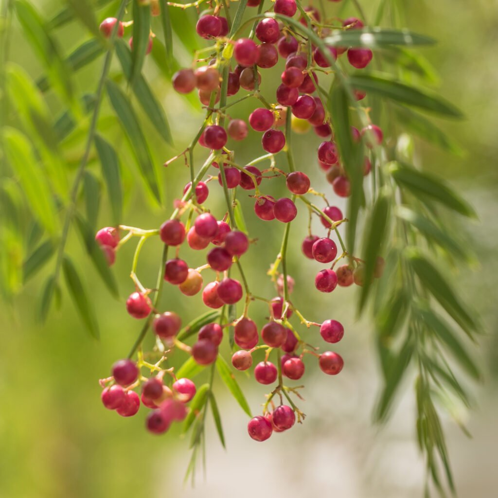 Plant of the month – June: pinkpeppercorn