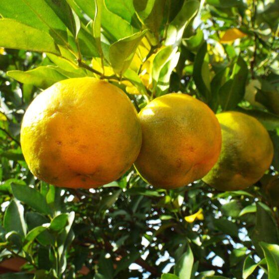 Citrus aurantium ssp bergamia