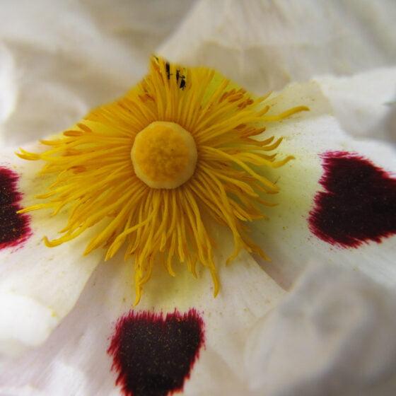 Cistus ladaniferus var. beta maculata