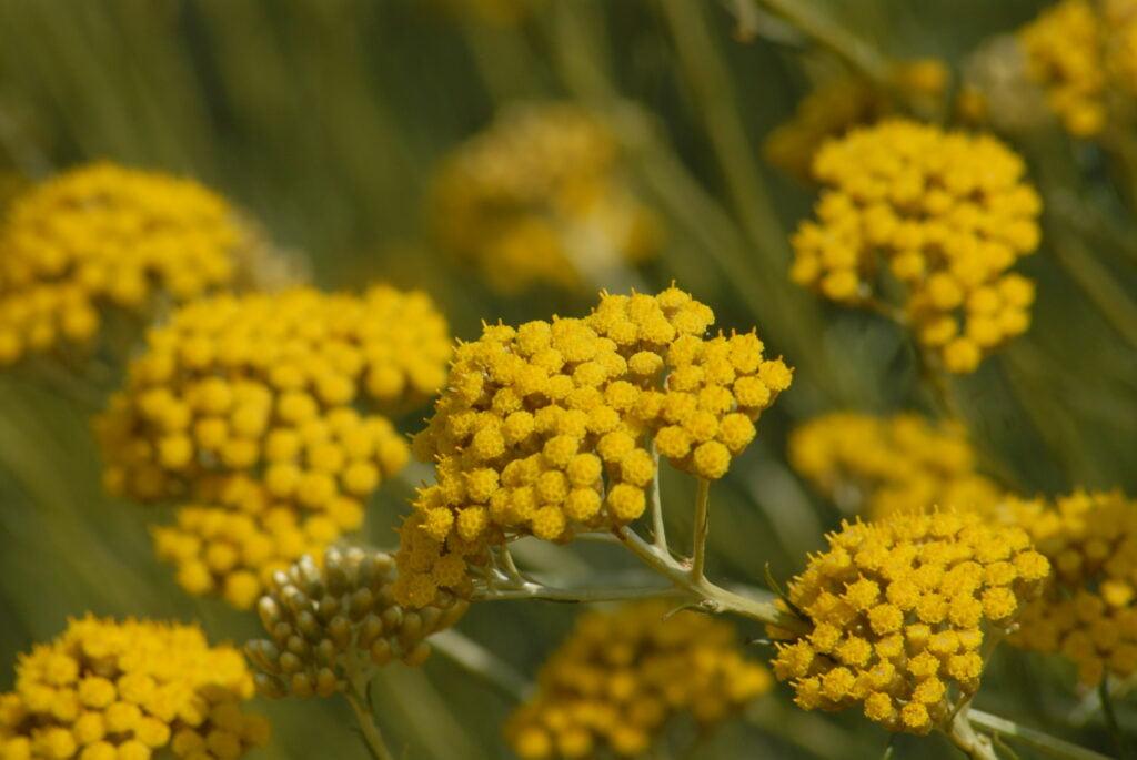 Plante du mois de juillet : l'immortelle picardii