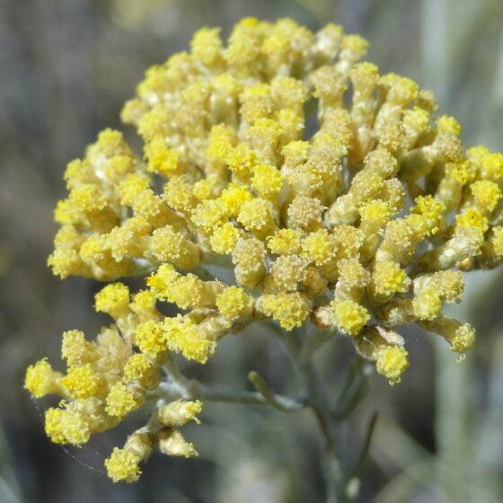 Helichrysum italicum var. picardii