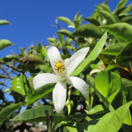 Citrus aurantium amara flower oil