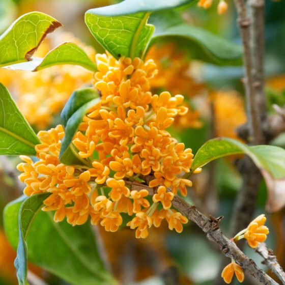 Osmanthus gold: Let's make this treasure last forever