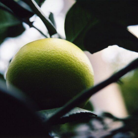 Citrus paradisii