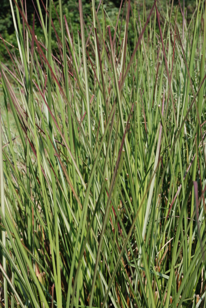 Plant of the month – February: Vetiver
