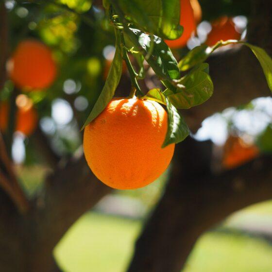 Citrus sinensis var pera