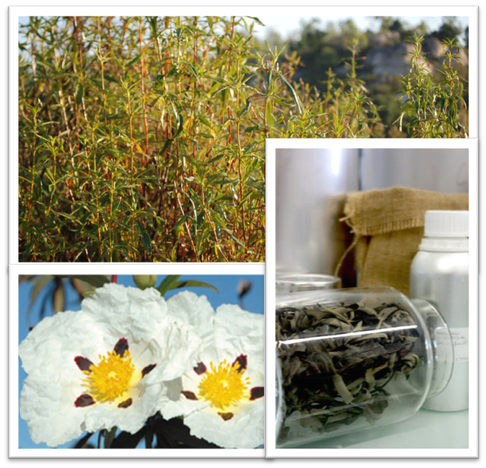 Cistus SEV: an exceptional treat for your creations