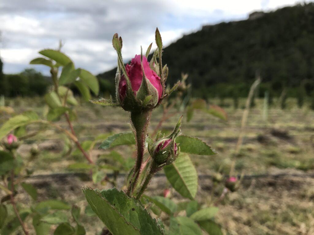 Rosa Centifolia movie