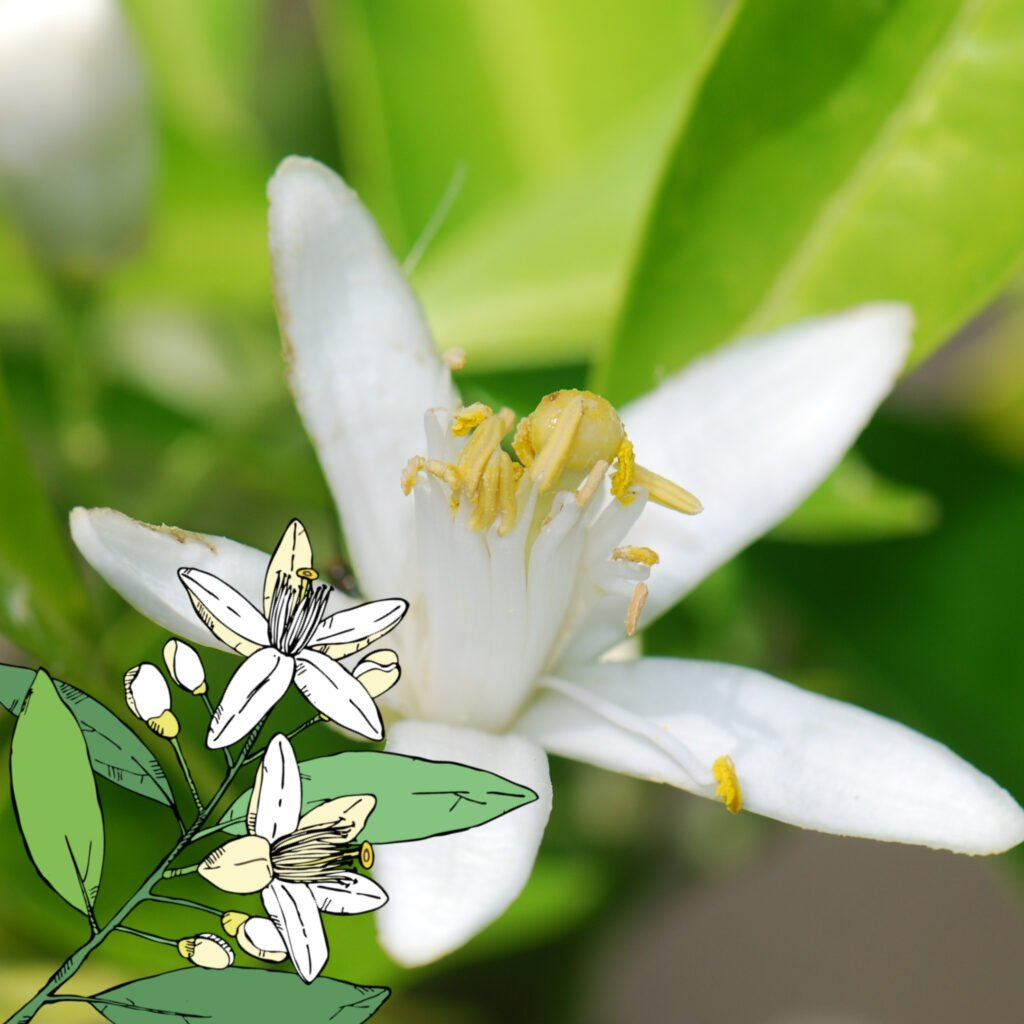 Orange blossom absolute: it's all about Spain!